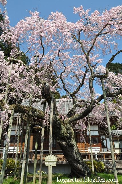 太山寺のシダレザクラ2