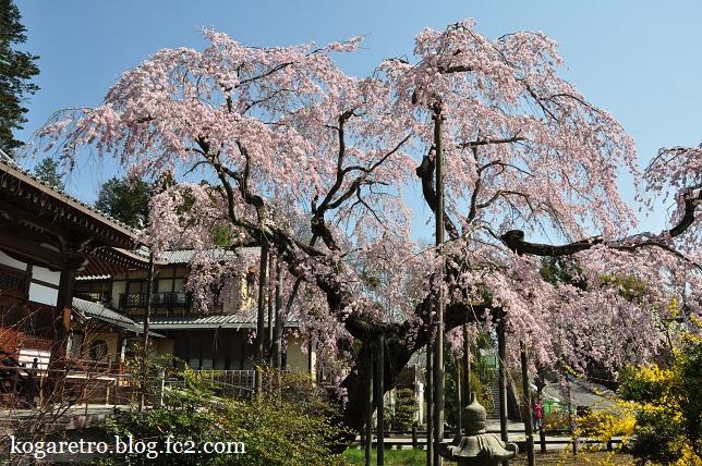 太山寺のシダレザクラ3