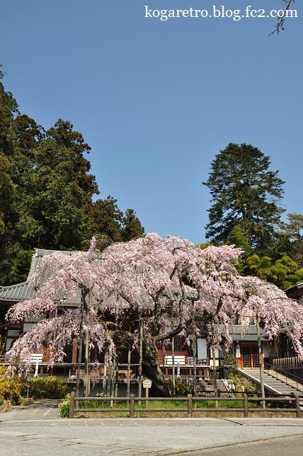 太山寺のシダレザクラ5