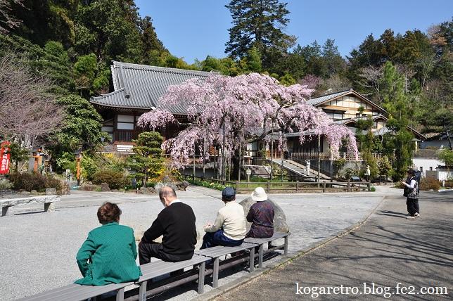 太山寺のシダレザクラ6