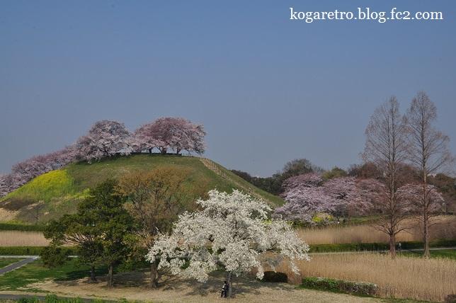 さきたま古墳の桜