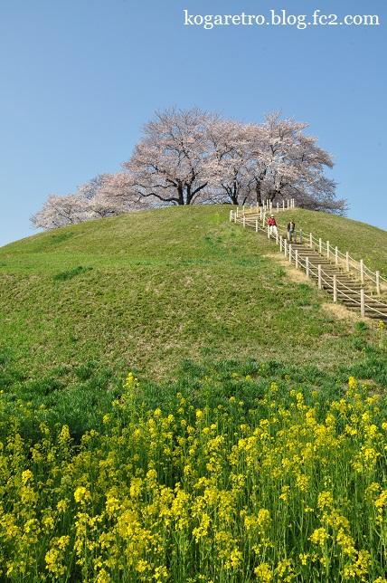 さきたま古墳の桜2