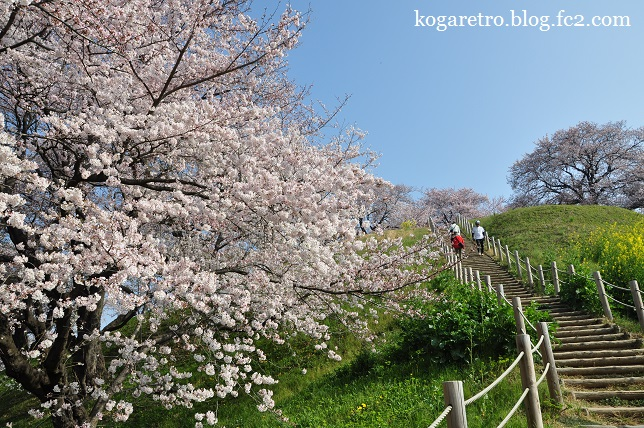 さきたま古墳の桜4