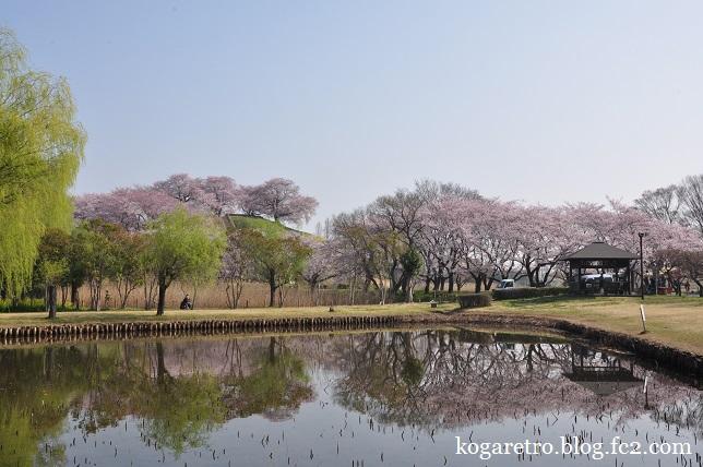 さきたま古墳の桜5
