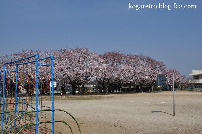 古河五小付近の桜
