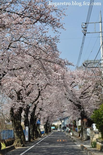 古河五小付近の桜2