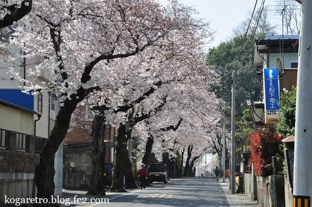 古河五小付近の桜3