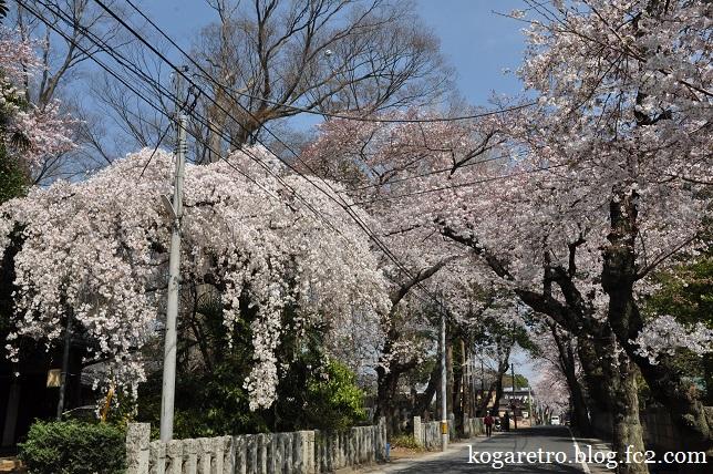 お雀神社の桜