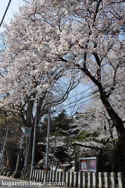 お雀神社の桜2
