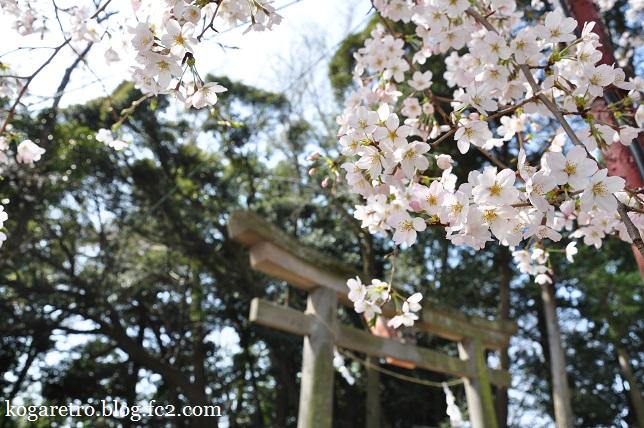 お雀神社の桜4
