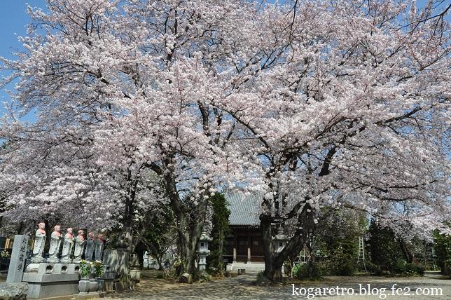 永井寺の桜2