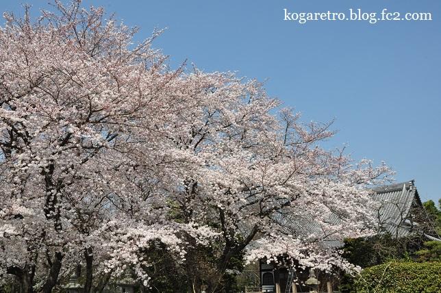 永井寺の桜3