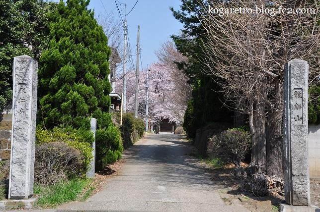 永井寺の桜