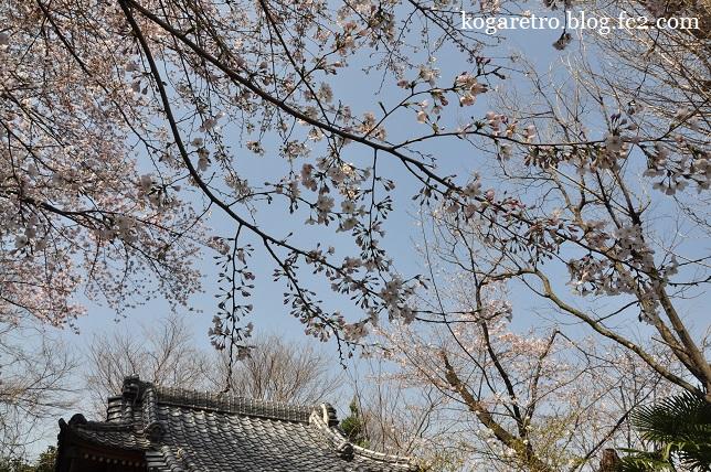 頼政神社の桜2