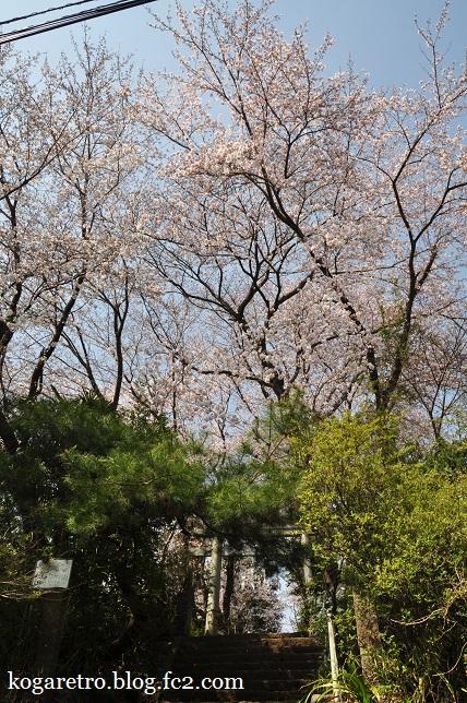 頼政神社の桜3