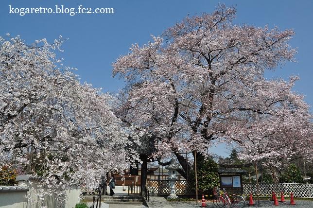 満福寺の桜2