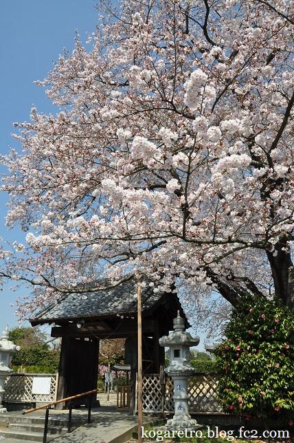 満福寺の桜5