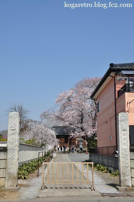 満福寺の桜