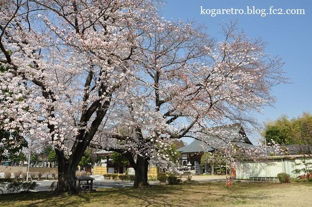 光明寺の桜2