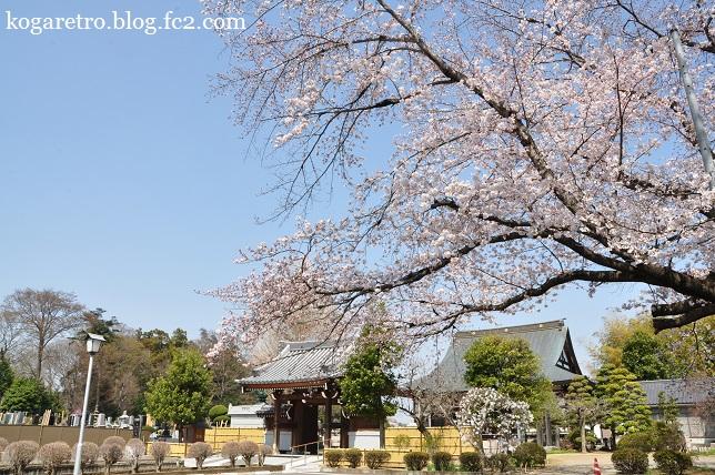 光明寺の桜3
