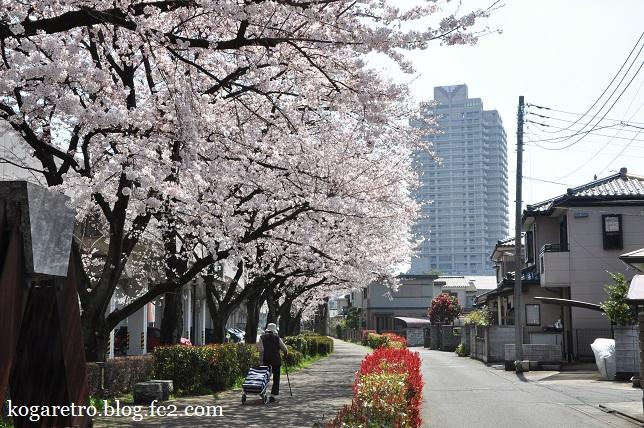四季の径の桜