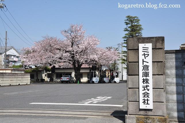 ミヤト倉庫の桜