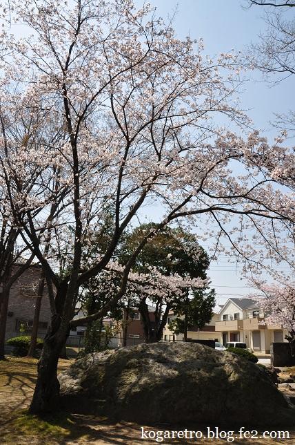 けやき公園の桜3