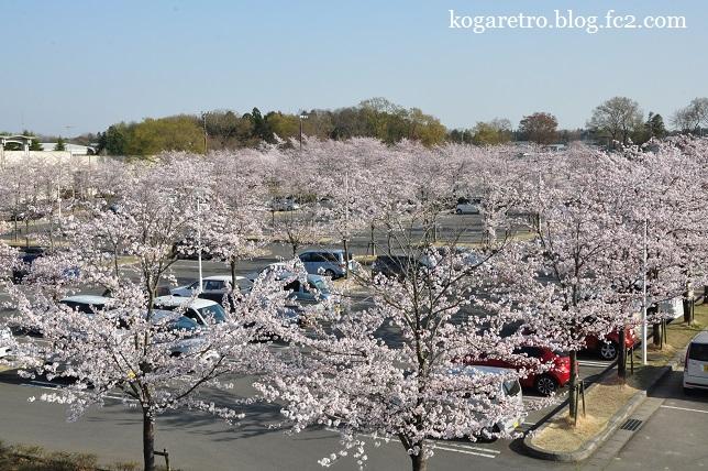古河市中央運動公園の桜2