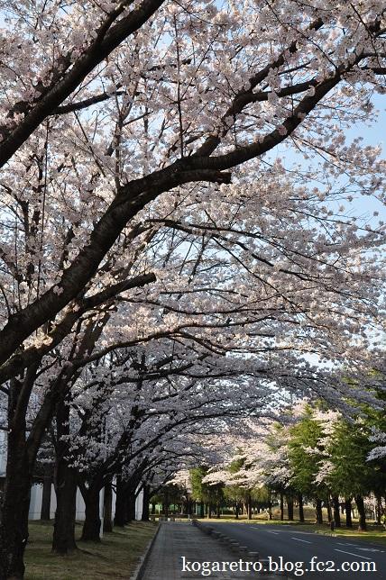 古河市中央運動公園の桜4