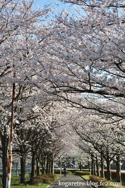 古河市中央運動公園の桜5