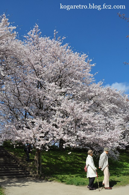 権現堂の桜まつり3