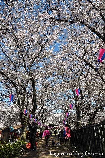 権現堂の桜まつり4