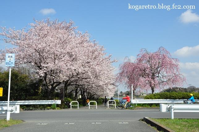 権現堂公園の桜2