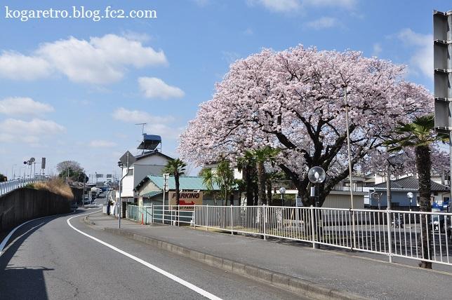フリークスストア古河店の桜