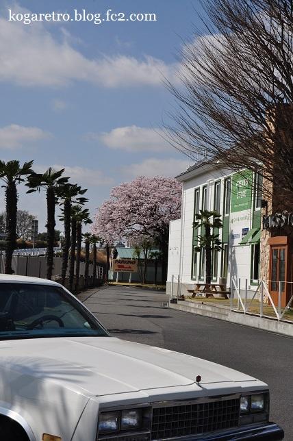 フリークスストア古河店の桜2