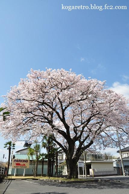フリークスストア古河店の桜3