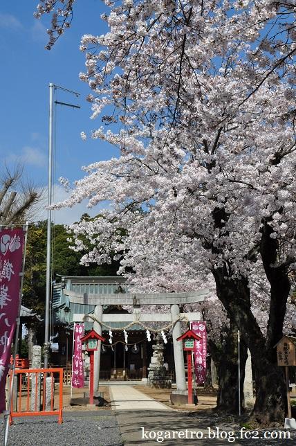 鶴峯八幡宮の桜2