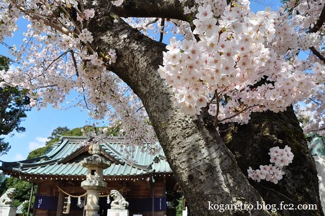 鶴峯八幡宮の桜4