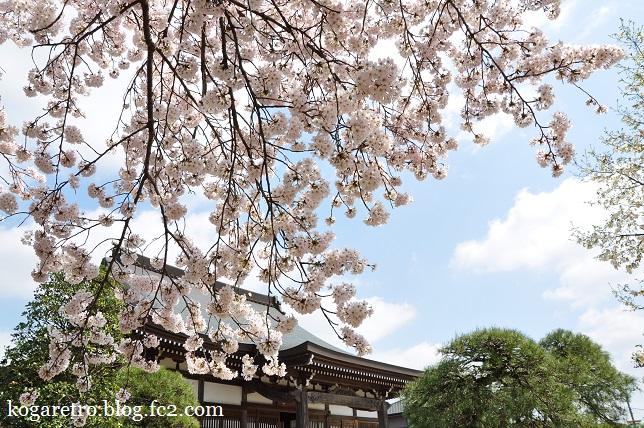 安禅寺の桜2