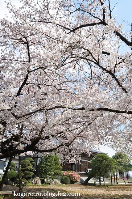 安禅寺の桜3