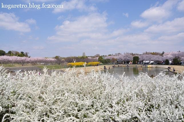 ネーブルパークの桜まつり2