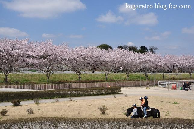 ネーブルパークの桜まつり3