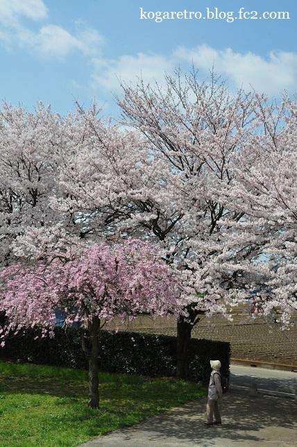 ネーブルパークの桜まつり4