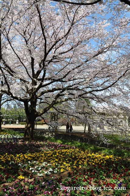 ネーブルパークの桜まつり7