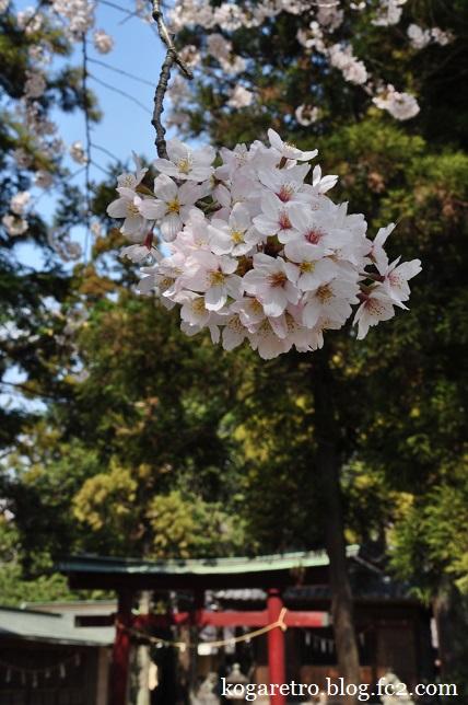 香取神社の桜2