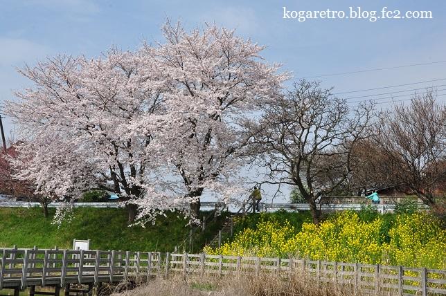 旧思川の桜2