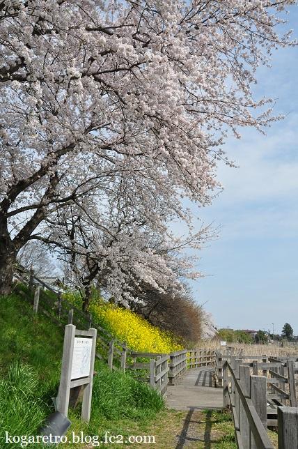 旧思川の桜
