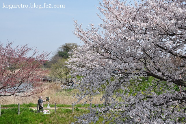 旧思川の桜3