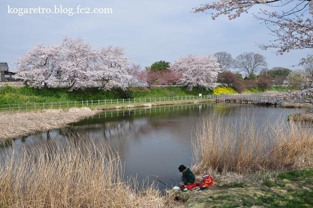 旧思川の桜4
