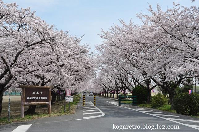 渡良瀬遊水地の桜4